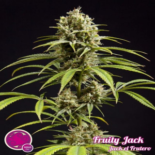 Fruity jack philosopher seeds