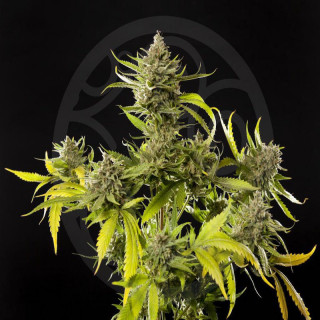 Philosophers Seeds - Lemon...