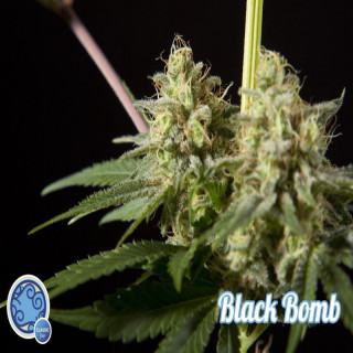 Philosopher seeds - Black...