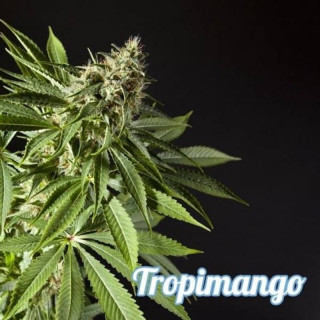 Tropimango - Philosopher Seeds 32,50 €