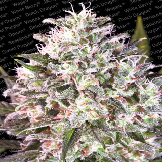 Space Cookies - Paradise Seeds 20,00 €