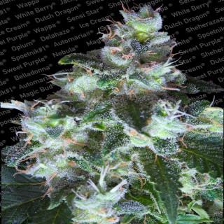 Original White Widow / Paradise Seeds . 32,00€