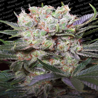 Californian Gold - Paradise Seeds 32,00 €