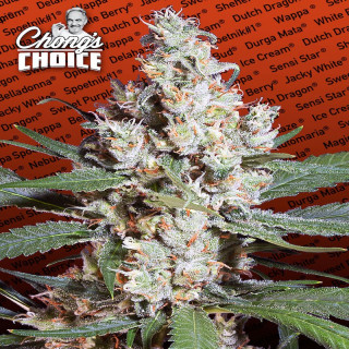 La amnesia chong's choice paradise seeds 75,00€