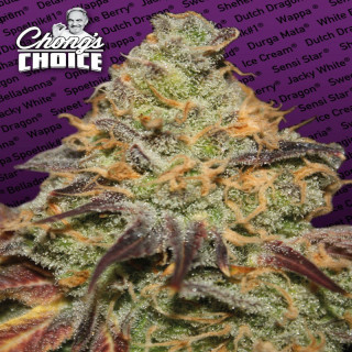 Blue kush berry chong's choice - paradise