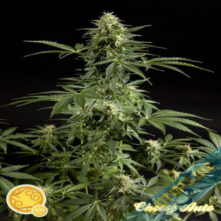Cheesy Auto Philosopher Seeds 21,00 €