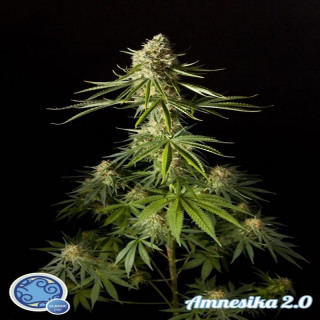 Amnesika 2.0 / Philosopher Seeds - 21,00 €