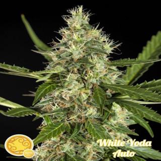 White Yoda AUTO / Philosopher Seeds - 21,00€