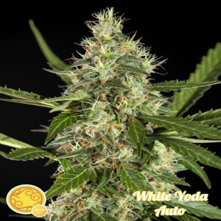 White Yoda AUTO Philosopher Seeds 21,00 €