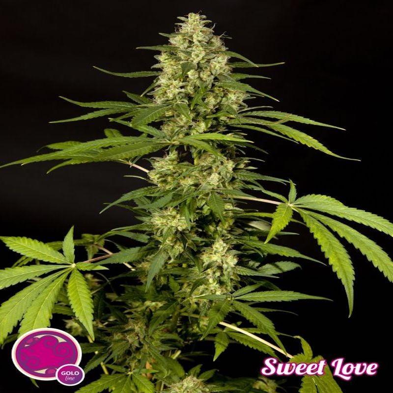 Sweet love philosopher seeds