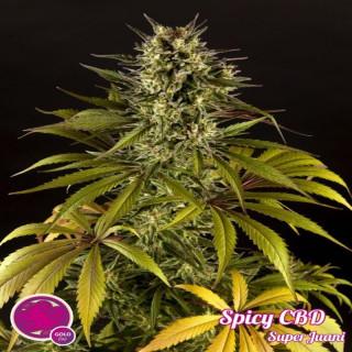 Spicy CBD superjuanita / Philosopher Seeds - 21,00€