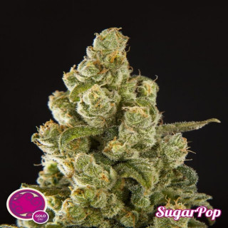 Sugar pop philosopher seeds