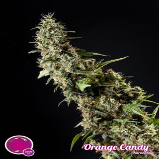 Orange candy philosopher seeds
