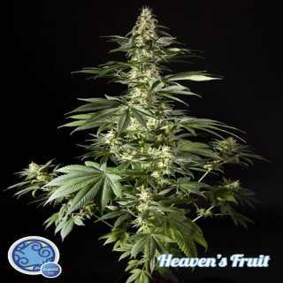 Heaven's Fruit / Philosopher Seeds - 21,00 €