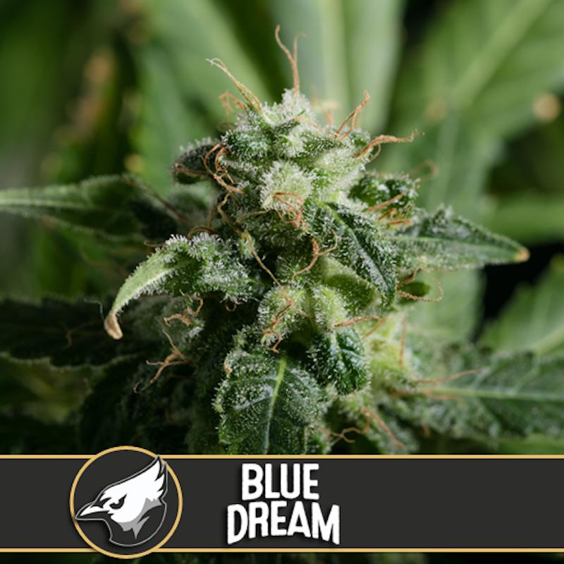 Blue dream blimburn american genetics 26,30€