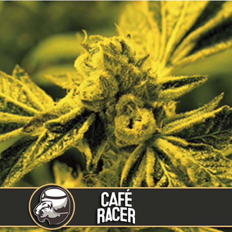 Café racer blimburn american genetics