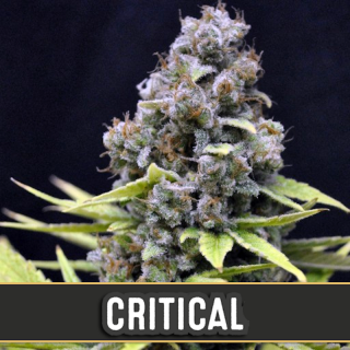 Critical auto blimburn seeds
