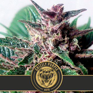 Grizzly purlple auto blimburn seeds 19,90 €