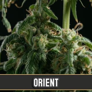 Orient auto blimburn seeds