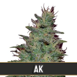 AK auto blimburn seeds