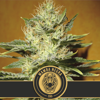 Black mamba negra high CBD - blimburn