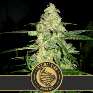 Clone Original blimburn seeds 31,50 €