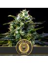 Black mamba (mamba negra) blimburn seeds 26,30€