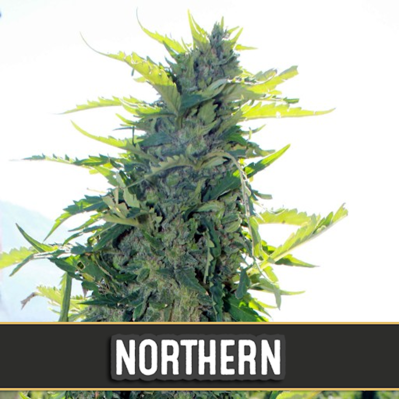 Northern auto blimburn seeds