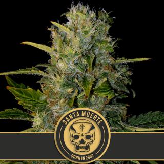 Santa muerte blimburn seeds 22,95€