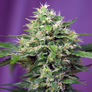 Blow Mind Auto / Sweet Seeds. 21,90 €