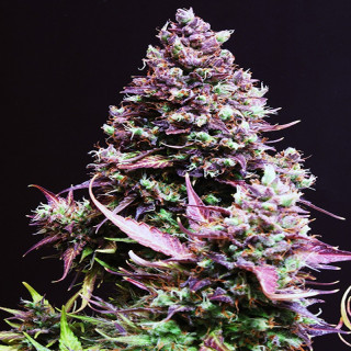 Cream caramel auto sweet seeds