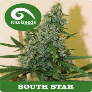 South Star Reg - Kiwi Seeds 25,00 €