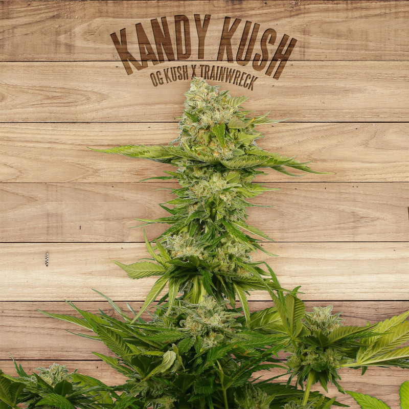 Kandy kush the plant organic seeds 33,00 €