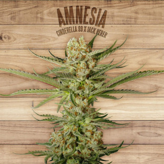 Amnesia the plant organic seeds 30,00 €