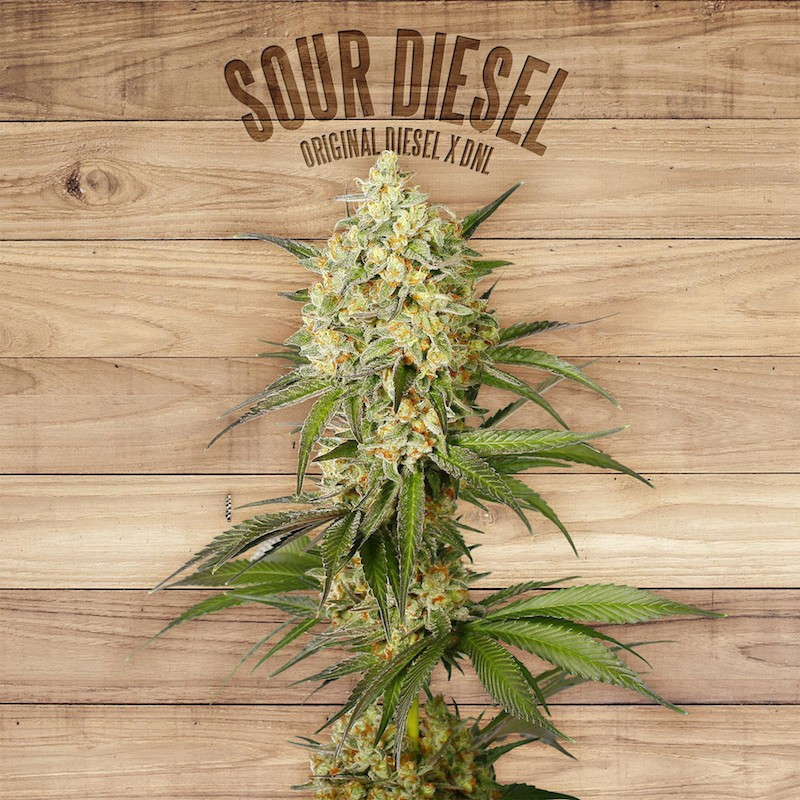 Sour diesel the plant organic seeds