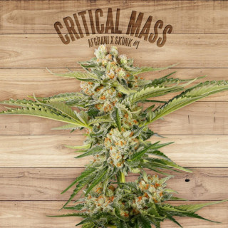 Critical mass the plant organic seeds 29,00 €