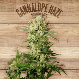 Cannalope haze the plant organic seeds