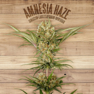 Amnesia haze the plant organic seeds