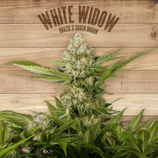 White widow the plant organic seeds