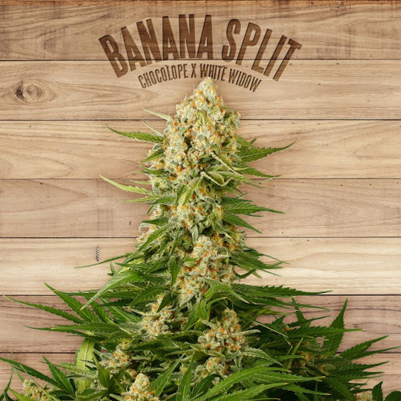 Banana split the plant organic seeds