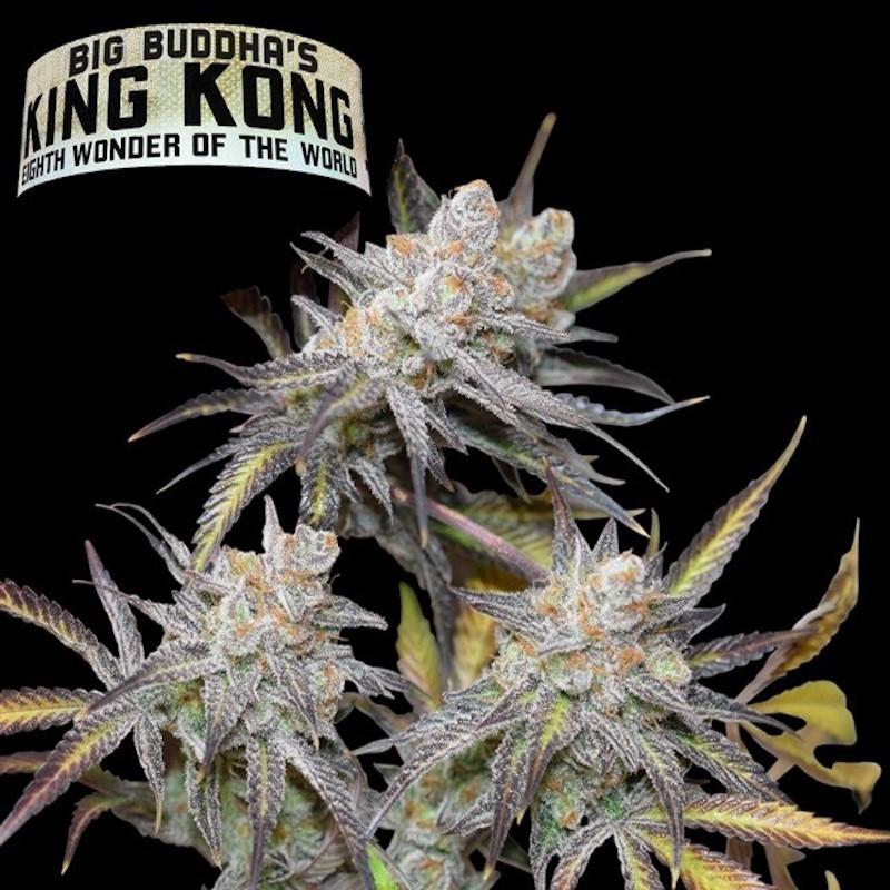 King kong féminisée big buddha seeds