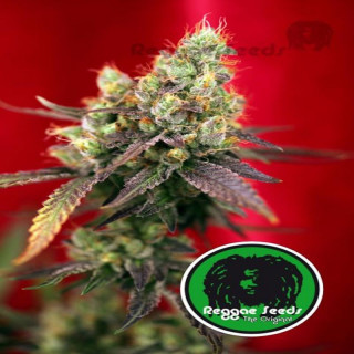 Dancehall - Reggae Seeds 30,00 €