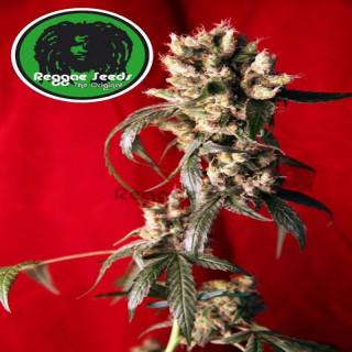 Blackdance Reggae seeds 36,00 €