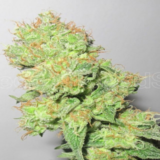 Y griega medical seeds féminisée 19,50 €
