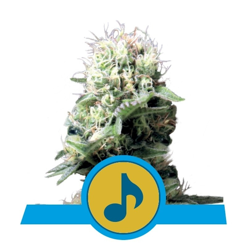 Dance World CBD - Royal Queen Seeds 17,50 €