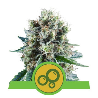 Bubble kush auto royal queen seeds 25,00 €