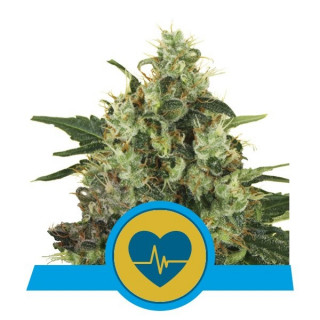 Medical mass CBD royal queen seeds