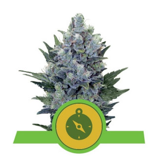 Northern light auto royal queen seeds 23,00 €
