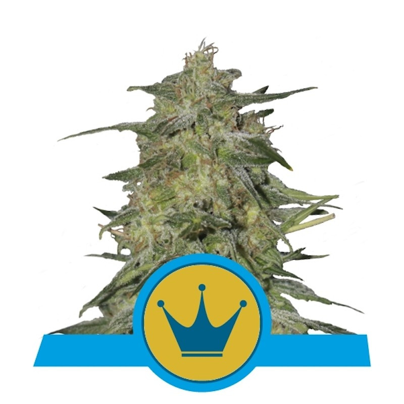 Royal highness royal queen seeds 17,50 €