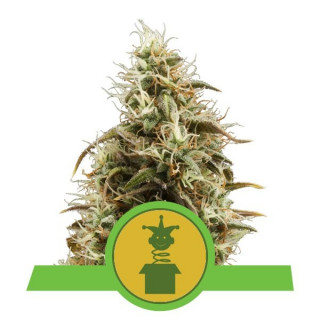 Royal jack auto royal queen seeds 25,00 €